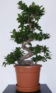 Bonsai Stecklinge Machen : ficus australis ikea 3 fragen gie en schneiden d ngen ~ Indierocktalk.com Haus und Dekorationen