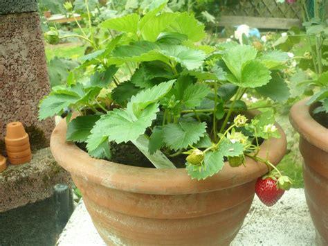 planter des fraisiers en pot les fraises en pot le de titanique