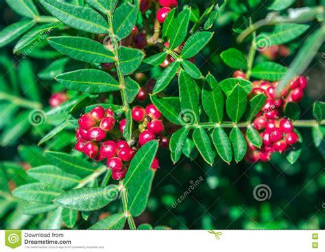 strauch mit roten beeren immergr 252 ner strauch mit roten beeren pistacia lentiscus stockbild bild frucht zweig 77860211