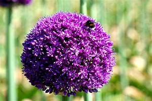 Garten Pflanzen : zierlauch im herbst pflanzen ~ Eleganceandgraceweddings.com Haus und Dekorationen