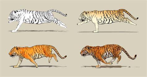 cartoon tiger running   stock footage video