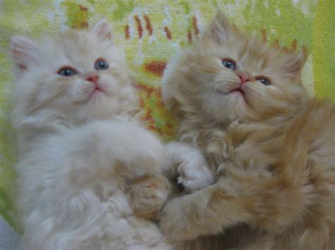 foto persiani cuccioli di gatti persiani petpassion