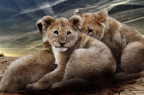 kostenloses foto loewenjunges loewenbabies loewen