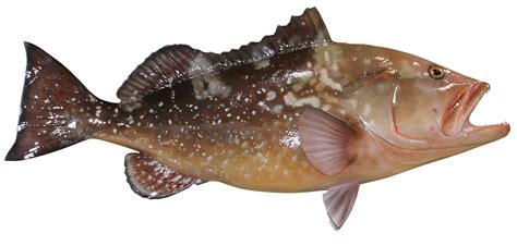 grouper fish epinephelus mount morio trophy prev