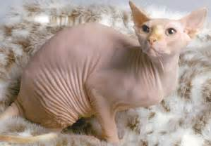 cat skin sphynx pictures information grooming and kittens