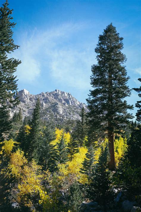 green pine tree leaves  stock photo