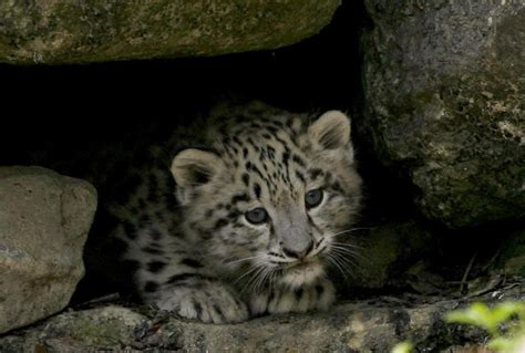snow leopard cubs  cutest baby animal