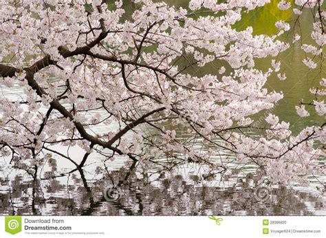flor de cerezo  charca del jardin de japenese foto de