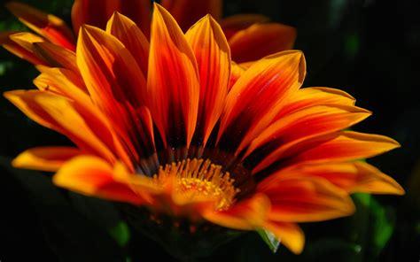 Orange Wallpaper Flower by Hd Wallpaper Orange Flower Hd Wallpapers