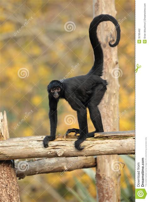 spider monkey stock photography image