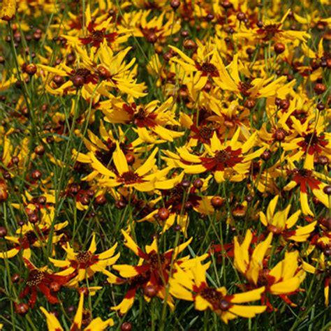 coreopsis mardi gras coreopsis mardi gras coreopsis tinctoria seeds select seeds