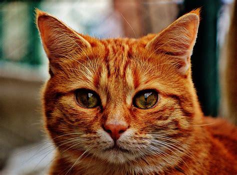 kostenloses foto katze kater rot niedlich