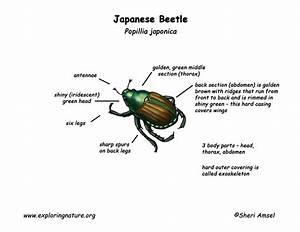 Beetle  Japanese
