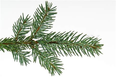 branch of christmas tree on white background stock photo