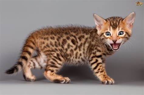 Bengal Cat Breed Information, Buying Advice, Photos And