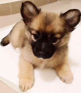 Pom-A-Pug (Pomeranian Pug Mix) Info, Temperament, Puppies ...