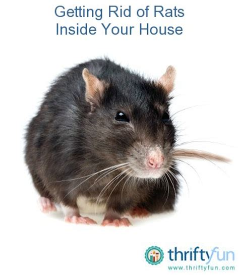 getting rid of rats getting rid of rats inside your house thriftyfun