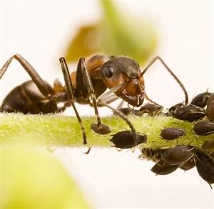 Mittel Gegen Rote Ameisen : insekten ameisen sind fiese sklavenhalter welt ~ Whattoseeinmadrid.com Haus und Dekorationen