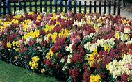 Snapdragon Garden Flower