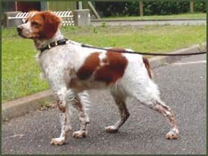French Brittany Spaniel Shedding by French Brittany Information Pictures Reviews And Q Amp A