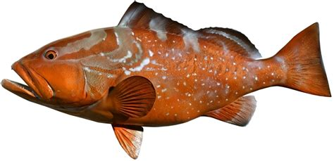 grouper fish supplier frozen doubt able answer suppliers ask must questions still then these