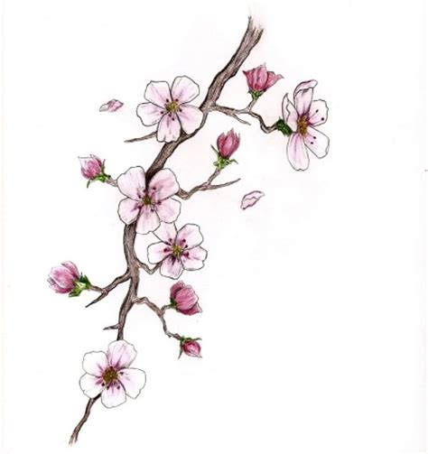 17 best images about cheery real cherry blossom branch www pixshark