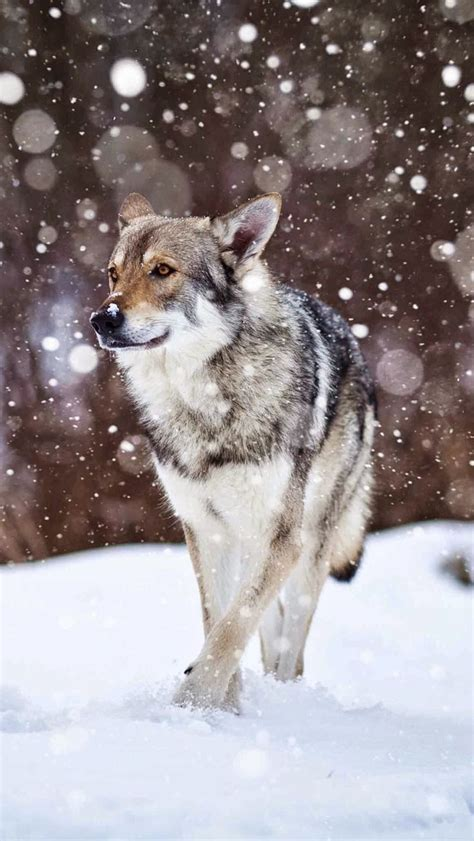 wolf dogs ideas  pinterest wolf photography