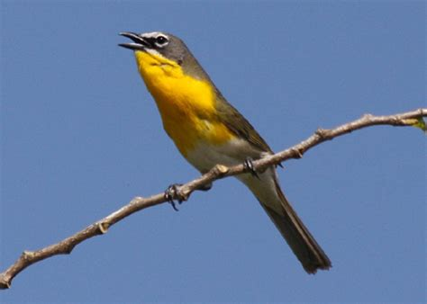 yellow breasted chat icteria virens