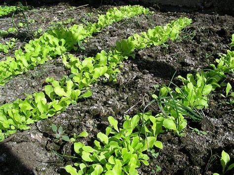 Lettuce Growing Problems And Solutions