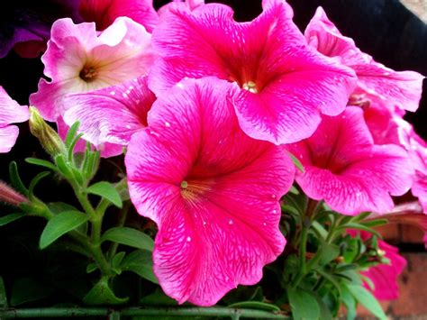 when to plant petunias growing petunias tips for petunia care