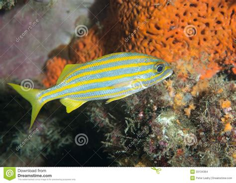 small mouth grunt fish   reef stock images image