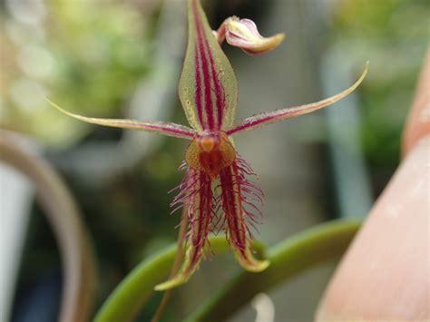 Andinia schizopogon | Orchids Forum