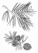 Pine Coloring Pages Needle Coloringtop Print Template sketch template