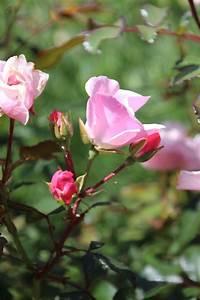 Schöne Bilder Kaufen : bodendecker rose 39 sch ne dortmunder 39 adr rose rosa 39 sch ne dortmunderin 39 adr rose ~ Orissabook.com Haus und Dekorationen