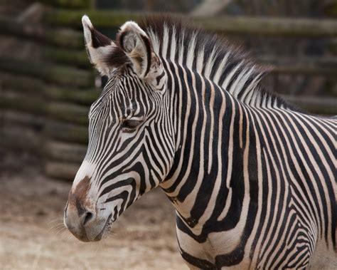 Wiki Grvys Zebra Upcscavenger