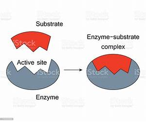 Lock And Key Model Enzyme Substrate Complex Stock