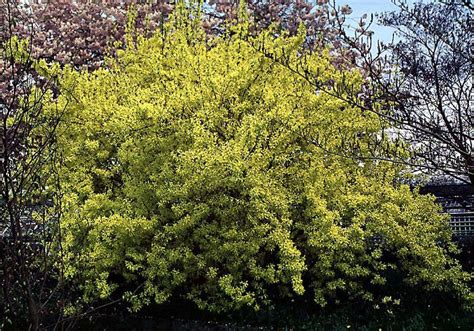 forsythia shrubs beechwood landscape architecture and construction spring glory forsythia deciduous shrub