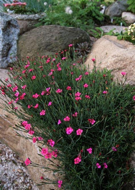 pflanzen für trockenmauer trockenmauer bepflanzen dianthus feder nelke garden