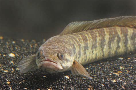 ikan gabus  mempercepat penyembuhan luka info