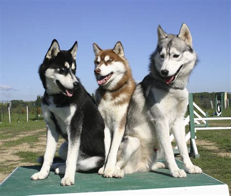 Slee Honden by The Siberian Husky Energetic Kind And Eager To Please