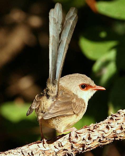 variegated fairywren malurus lamberti birds
