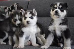 Husky Zu Verkaufen : tieranzeigen elterntieren kleinanzeigen ~ Orissabook.com Haus und Dekorationen