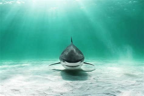 shark wallpaper  hd shark photo