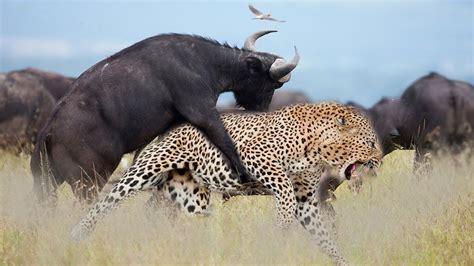 fierce  wild animals bbc documentary