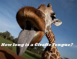 How long is a Giraffe tongue - My Honeys Place