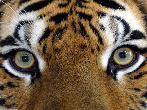 tiger eye wildlife photography images tiger s eyes hd wallpaper and background photos 22238610