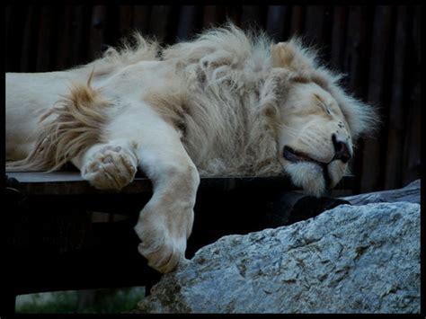 rare white lion pictures echomon