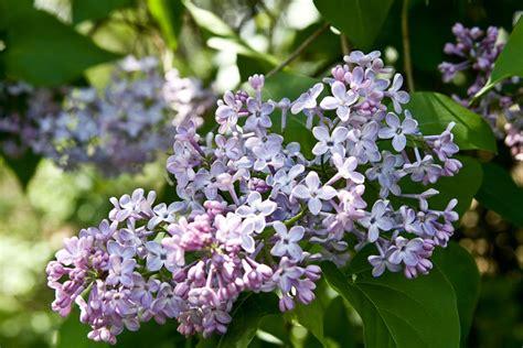 Liliac floare | Flickr - Photo Sharing!