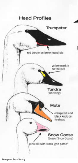 Whereas, a goose weighs only 7kg at the most. 4 ways to tell apart swans and snow geese - Dickinson ...