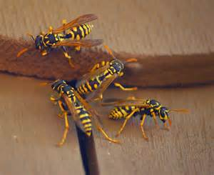 Get Rid Of Wasps In Garden by Ground Nesting Bees Are They A Threat To You Or Your Lawn